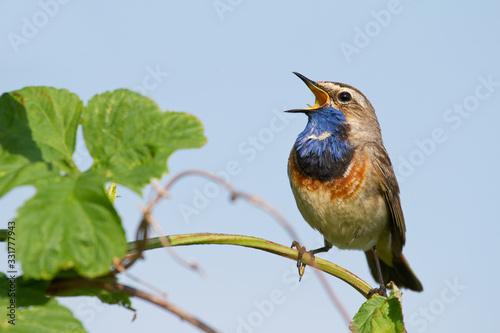 Stampa su Tela Bluethroat (Luscinia svecica) Blaukehlchen, Gorge-bleue