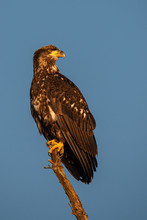 Immature Bald Eagle Perched On...