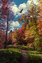 Eagle Flying Over A Fall Forest