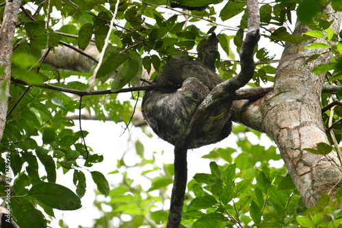Photo sloth sleeping on top of a tree in natural conditions in amazonia
