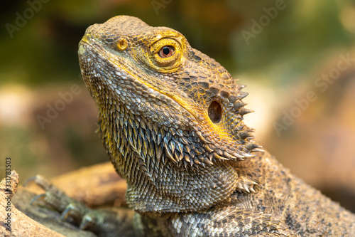 Obraz na plátně Head shot of a central bearded dragon (pagona vitticeps) in captivity