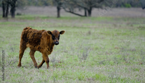 Photo Young angus calf walking through rural field with copy space.