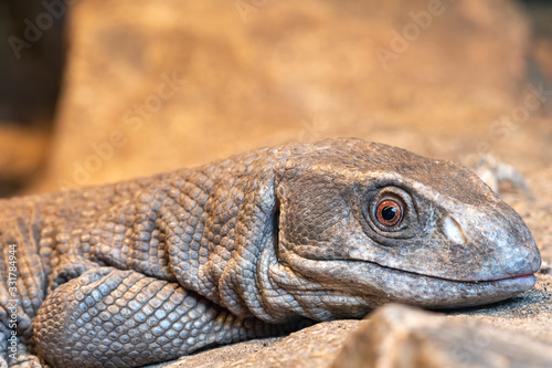 Photo Close up portrait of a savannah monitor (varanus exanthematicus) in captivity