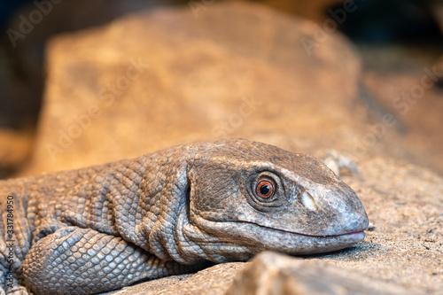 Fotografia Close up portrait of a savannah monitor (varanus exanthematicus) in captivity