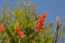 Beautiful Hummingbird Eating N...