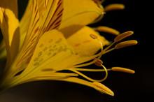 Flower Of Peruvian Lily Alstro...