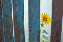 A Sunflower Peeks Out From Beh...