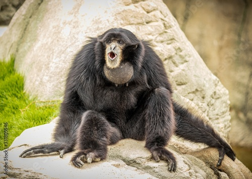 Black monkey with an open mouth sitting on a stone Wallpaper Mural