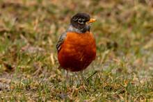 American Robin On Green Grass