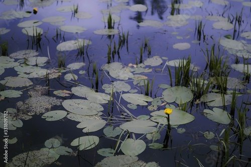 Single yellow flower growing in a pond