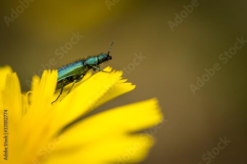 Psilothrix viridicoerulea es una especie de escarabajos de flores de alas suaves que pertenecen a la familia Melyridae, subfamilia Dasytinae Wallpaper Mural