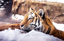 Amur Tiger Relaxes In A Snow B...