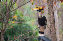 Great Hornbill On Branch On Green Background In Nature
