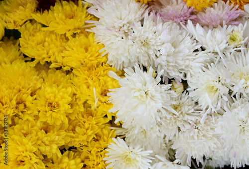 Fototapety, obrazy: Bunch of chrysanthemum flowers. Chrysanthemum pattern in flowers park. Cluster of  chrysanthemum flowers.