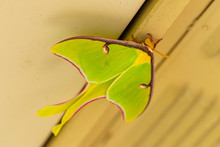 A Beautiful Luna Moth, Actias ...