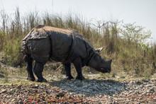 An Endangered One Horned Rhino...