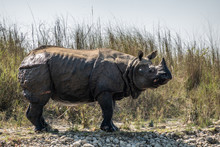An Endangered One Horned Rhino On A River Bank In Nepal
