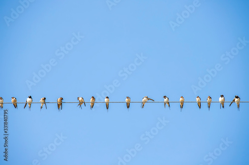 Obraz Bird, flock of swallows, perch on a power line - fototapety do salonu