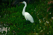 Snow Egret I Waters Edge With Green Plants