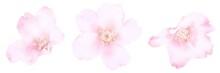 桜の花 水彩風イラス...