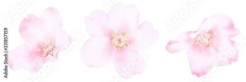 桜の花 水彩風イラスト素材 Wallpaper Mural