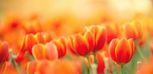 orange tulips on a green background ,  spring-blooming and the flowers are us...