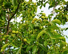 Young Green Fruits Of A Walnut On A Tree In A Collective Farm Garden