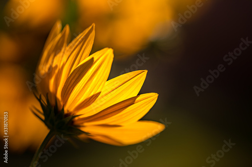 Beautiful sunset floral closeup, yellow flowers in sunset or sunrise Canvas Print
