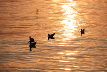 Seagull And Ducks On The Sea D...