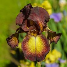 "Iris Germanica. Closeup Of Flower Bearded Iris ""Provencal"" In Garden. A Plant With Impressive Flowers, Garden Decoration."