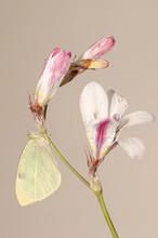 Farfalla Cavolaia