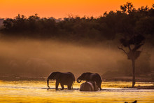 African Bush Elephant In Kruge...