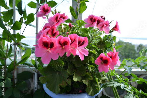 Obraz Beautiful pink geranium (pelargonium) flowers. Garden on the balcony with flowers in pots. - fototapety do salonu