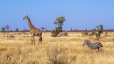 Fototapeta Sawanna - Giraffe in Kruger National park, South Africa