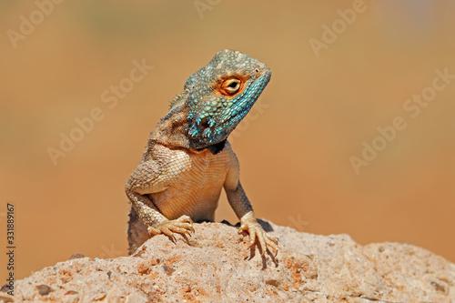 Portrait of a ground agama (Agama aculeata) sitting on a rock, South Africa Canvas Print