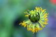 Übrigbleibsel einer verwelkten Mohnblüte