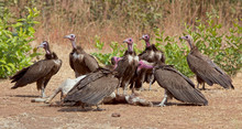 Hooded Vultures (Necrosyrtes Monachus) Gathered Around A Carcass Of A Dead Goat, Gambia.