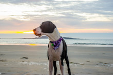 Great Dane With Bandana On Beach At Sunset