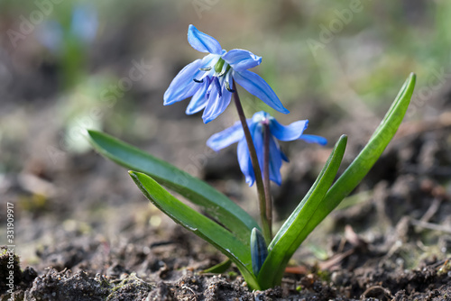 Close up of Glory of the Snow flower seen from low angle Canvas Print
