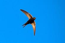 Black Swift Flying On The Blue...
