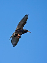 European Starling In Flight (Sturnus Vulgaris)