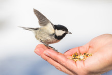 Wild Chickadee Birds Eat Out Of Stylish Man's Hands In Snowy Forest Environment