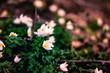 Nahaufnahme von weiße Blumen am Waldboden nahe einer Quelle
