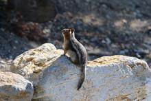 Golden- Mantled Ground Squirre...