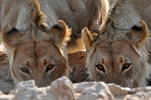 A Pair Of Lions Quenching Their Thirst At A Waterhole In The Kgalgadi National Park, South Africa