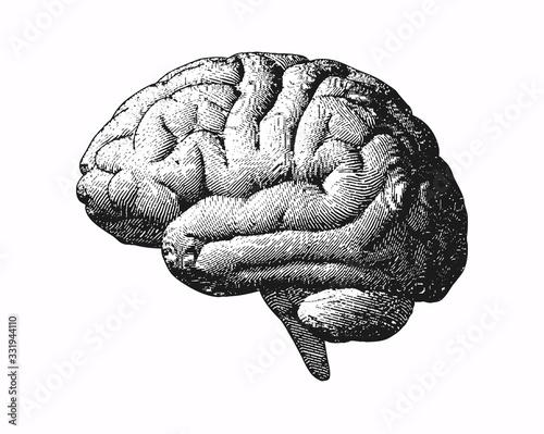 Fototapeta Monochrome engraving brain illustration on white BG