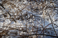 Snow Clings To Branches In A T...
