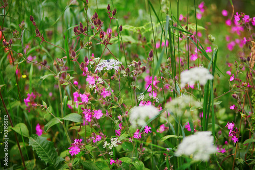 Purple wildflowers closeup on meadow or in forest - 331955112