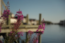 Violer Flowers In The Harbour