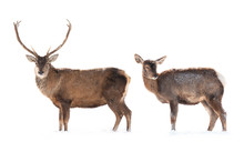 Female And Male Deer Is Isolat...